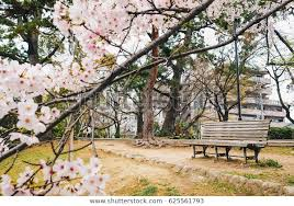 empty wooden park bench sakura flower