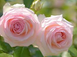 rose flower beautiful nature pink