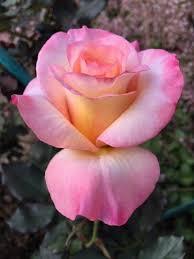 Fotografiya Beautiful Flowers Rose Garden Design Beautiful Roses