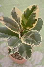 rubber plant how to care for this