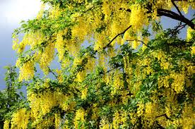 yellow flowers on a summer tree