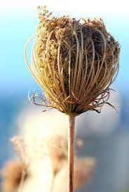 HILTAN OTU: (Ammi Visnaga) Diğer Adı:... - Dogadan Şifali Bitkiler ...