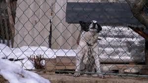 Dog Barking Behind Backyard Fence Stock Footage Video 100 Royalty Free 16374151 Shutterstock
