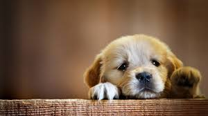 hd puppy wallpapers top free hd puppy