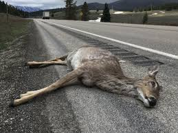 Studying wildlife ecology through road-killed animals | Outdoors |  rexburgstandardjournal.com