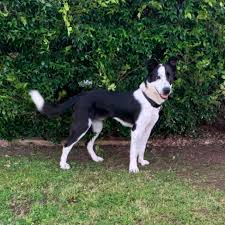 Fido Medium Male Border Collie Mix Dog In Nsw Petrescue
