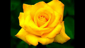 ورود صفراء متحركة