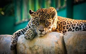 jaguar mexico hd wallpaper hd