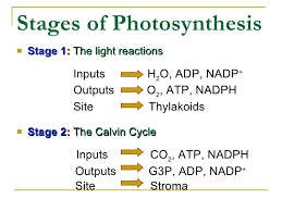 two main reactions of photosynthesis