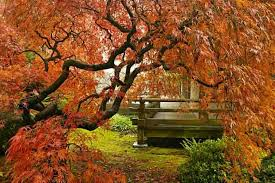combination ideas with japanese maples