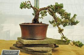 bonsai tree with brown leaves