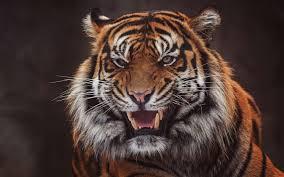 تحميل خلفيات نمر سومطرة كبيرة النمر القط البري الشر النمر