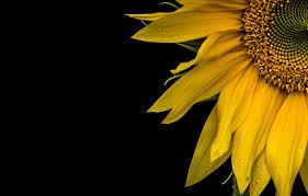 wallpaper macro background sunflower