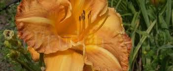 Daylily Hemerocallis 'Ada E. Hill'