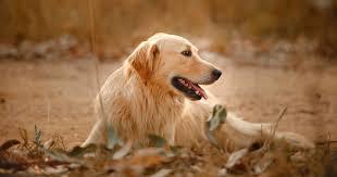 Hidden Dog Fence Do Wireless Fences Work For Dogs Virascoop