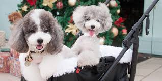 pretty poodles at a poodle gathering in