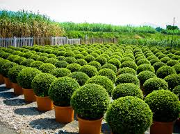 American Boxwood For Sale The Tree Center