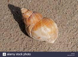 Common Whelk Shell Stock Photos & Common Whelk Shell Stock Images ...