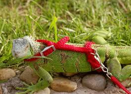 can you leash train a reptile