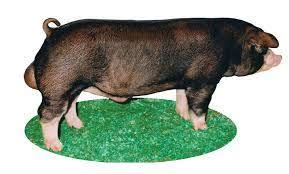 Major Swine Breeds - Pork Checkoff
