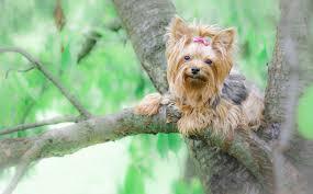 yorkshire terrier wallpaper on