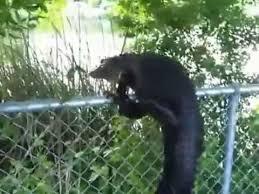 Ninja Gator Climbs Fence Youtube