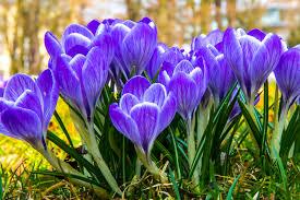 """Résultat de recherche d'images pour """"fleurs de mars"""""""