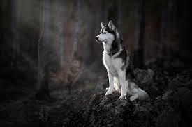 hd wallpaper forest dog husky