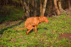 home remes for dogs with worms