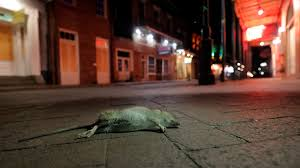 rats becoming a problem in new orleans