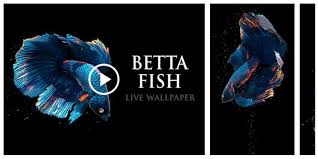 betta fish live wallpaper free go apk