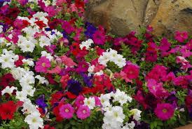 10 best bedding plants life is a garden