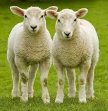 Las ovejas - Hago mi Tarea