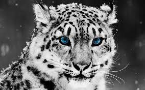 snow leopard wallpaper 1920x1200 75088
