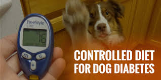controlled t for diabetes in dogs