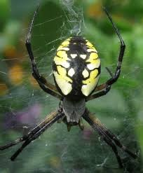 10 spiders to watch for in iowa pest