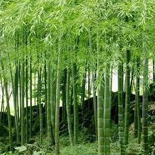 100pcs rare mini moso bamboo tree seeds