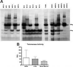 telomeric repeat lification protocol