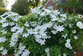 Consider Adding Vines And Climbers To Your Garden News Santa Rosas Press Gazette Milton Fl