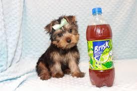 toy yorkie puppies in las vegas