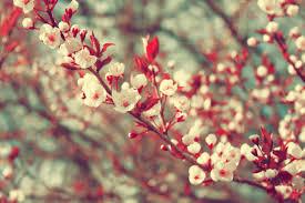 صور ورد ربيع