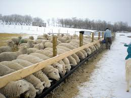 Producer Profile Morning View Farm Elnora Ab Sheep Canada Magazine