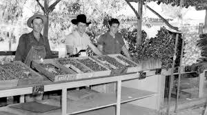 knott s berry farm history the