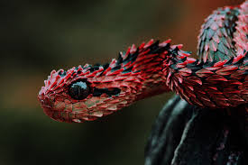 Image result for venomous snakes
