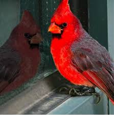 Cardinal Alert For Large Windows