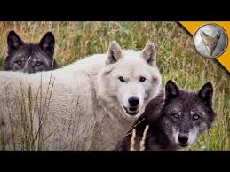 Wolf Pack Meets A Coyote Youtube