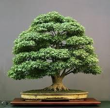 う盆栽木の葉小|盆栽庭師 #Bonsai #う盆栽木の葉小盆栽庭師 in 2020 | Maple bonsai, Japanese maple  bonsai, Bonsai tree