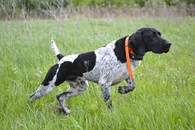 dog training german shorthaired pointers