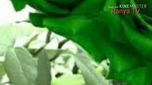 أجمل صور ورد لون اخضر Youtube