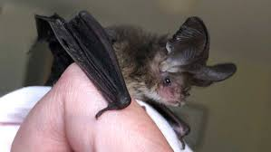 Bat woman: Ebony shares a house with some of Australia's most misunderstood  creatures - ABC News